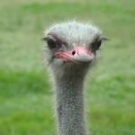 ostrich-1334888-m